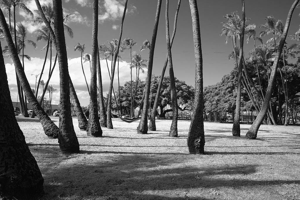Field of Palms